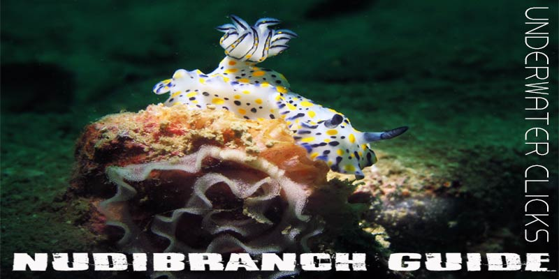 nudibranch-guide-underwater-clicks-thailand