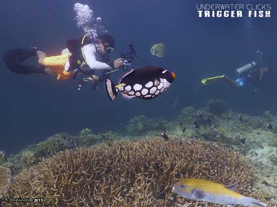 Top 10 Trigger Fish Tips Clown Trigger Fish Sipadan