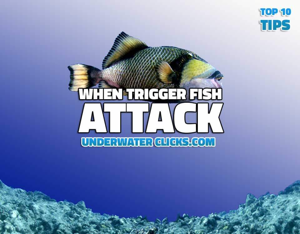Top 10 Tips When Trigger Fish Attack