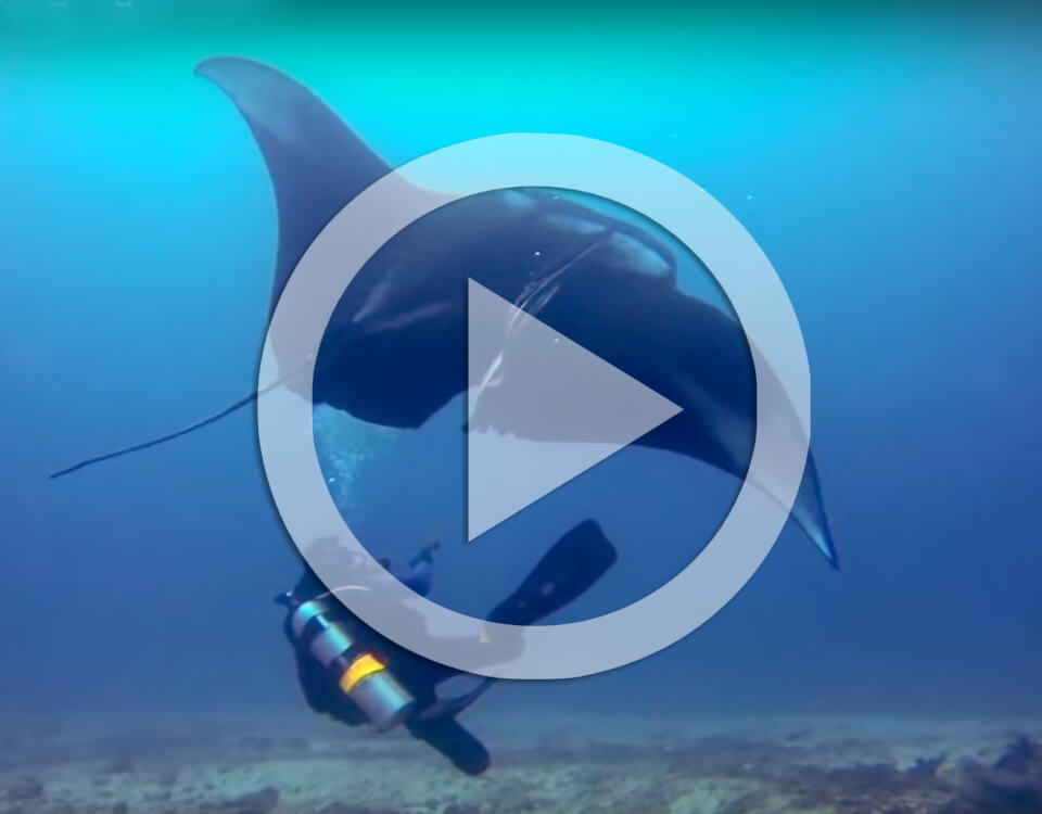 divers save manta ray video