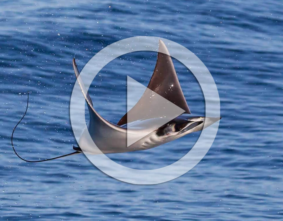 mobula rays video