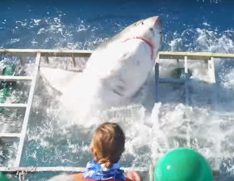 Shark Breaches Cage After Entering