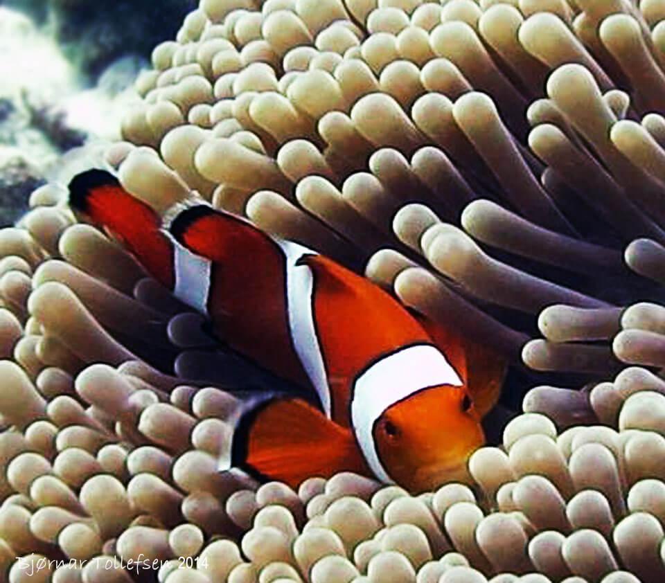 Dive Similan Islands Thailand - Clown Fish