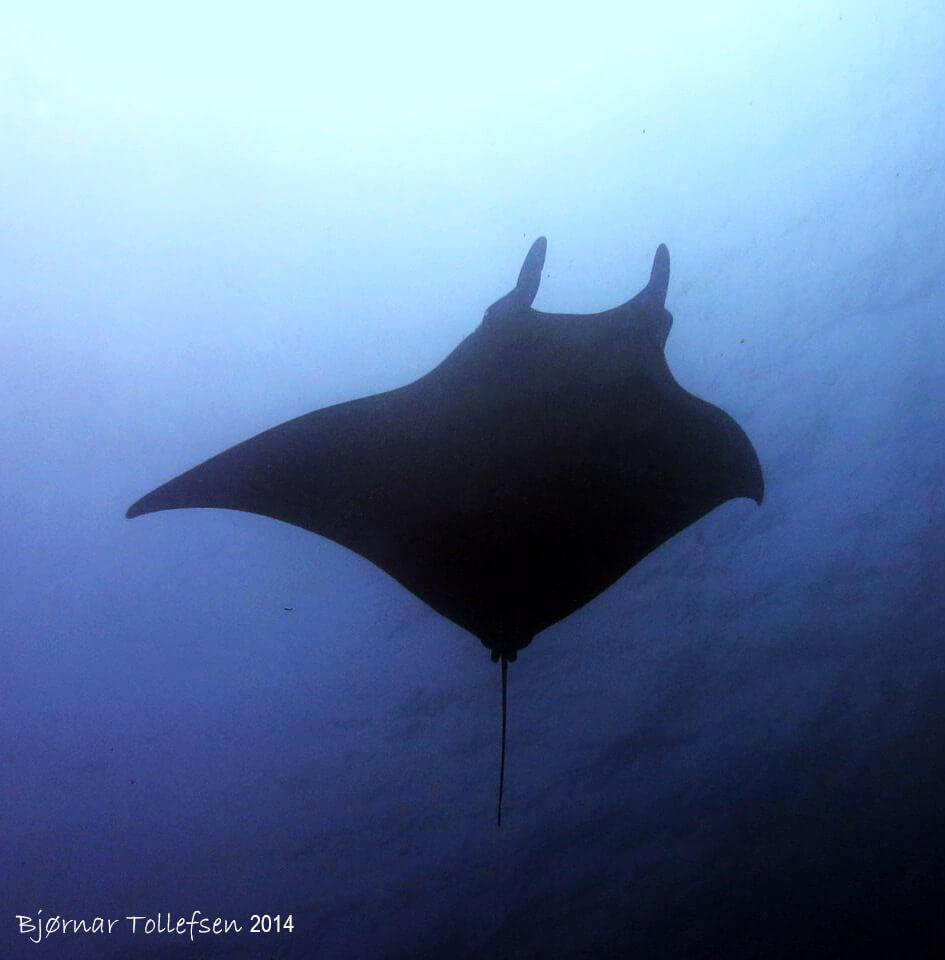 Dive Similan Islands Thailand - Manta Ray
