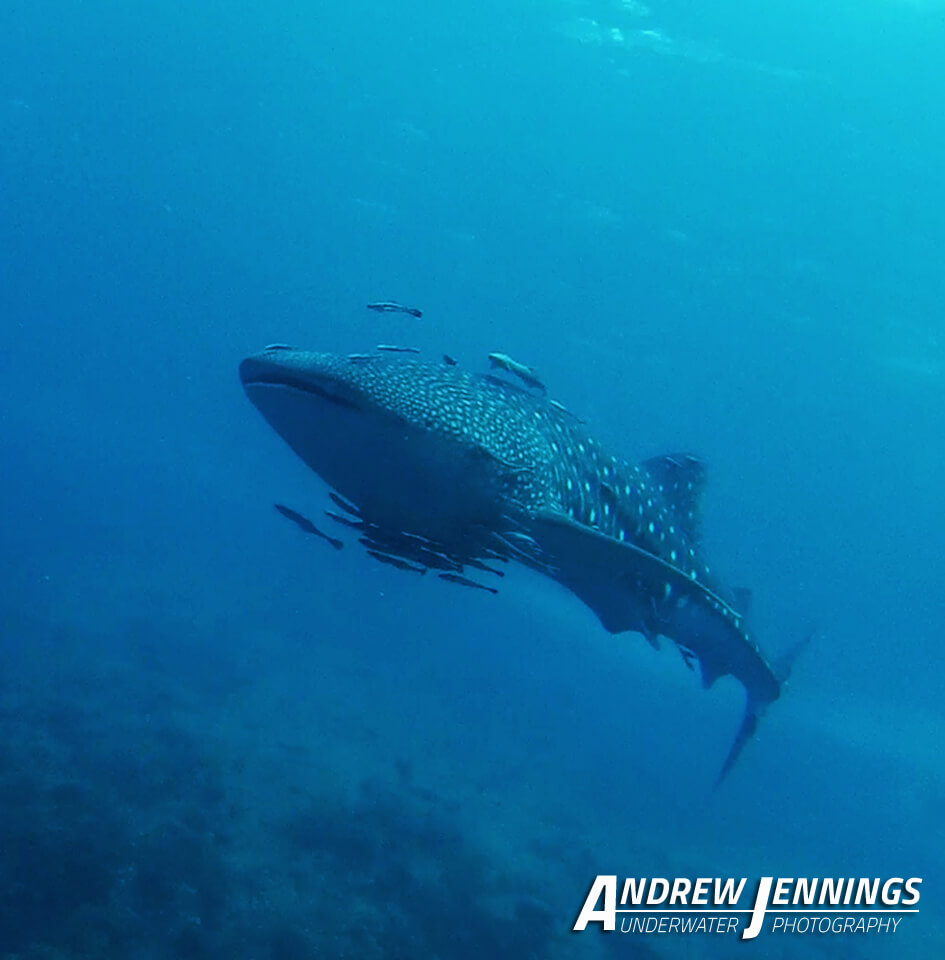 Dive Similan Islands Thailand - Whaleshark