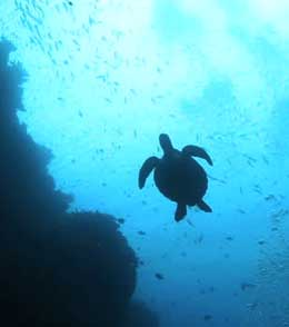 underwater silhouette photography-turtle2