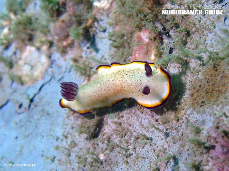 Nudibranch guide