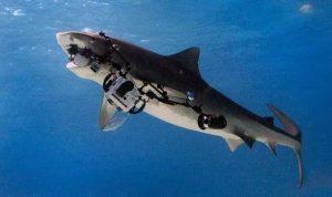tiger_shark_eats-camera