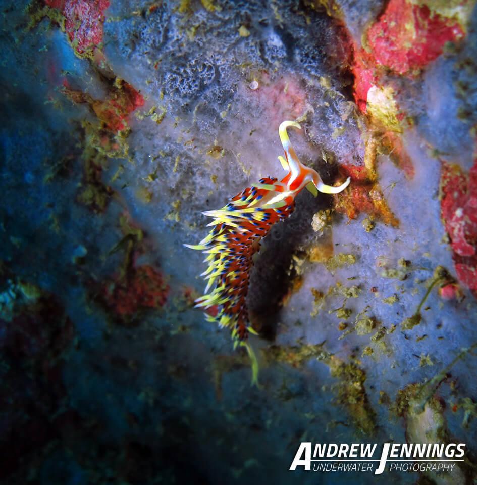 Dive Similan Islands Thailand - Nudibranch