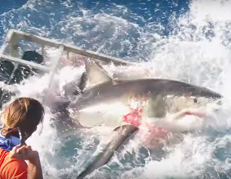 Blood on Great Whites Gills After Cage Diving Accident