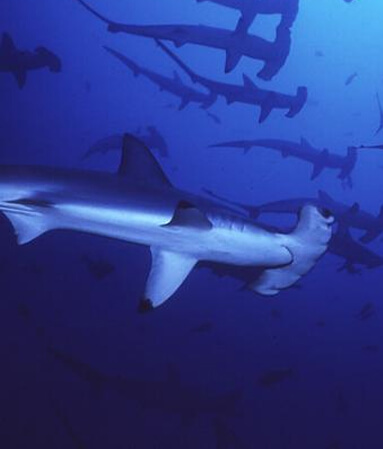 Diving Yonaguni hammerhead sharks